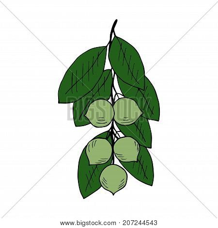 Tamanu tree (Calophyllum inophyllum). Nuts, plant, berry, fruit natural organic butter ingredient. Hand drawn ink sketch illustration. Treatment, cosmetics ingredient, oil. Isolated.