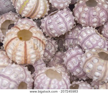 full frame background showing lots of sea urchins