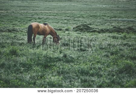 Travel to Iceland. horse is passionate in the field