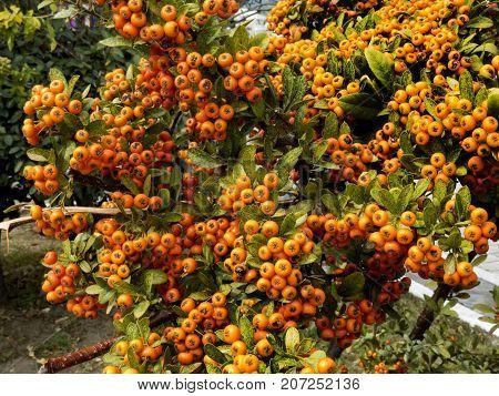 Callicarpa bodinieri verbenaceae, giraldii, deciduous, det wild,