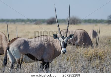 Close-up portrait of beautiful oryx or gemsbok antelope standing in high grass, Etosha National Park, Namibia, Southern Africa.