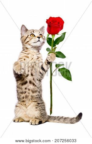 Cute kitten Scottish Straight with a rose, standing on its hind legs, isolated on white background