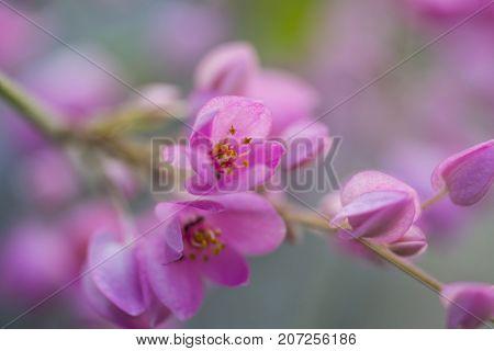 Pink flower with Soft focus Coral vine or Antigonon leptopus hook flower in the garden natural background.