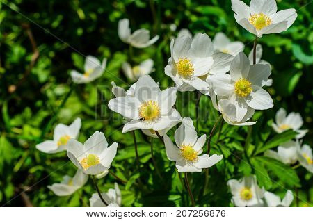 White Anemone Blossoming On Spring