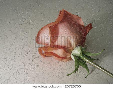 Crackling Rose Photo