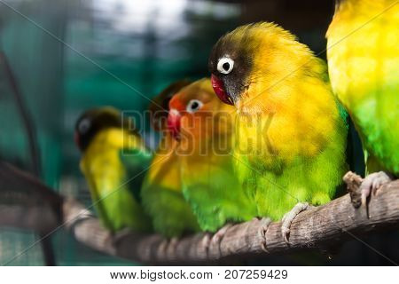 Group of green small parrots sitting on a branch