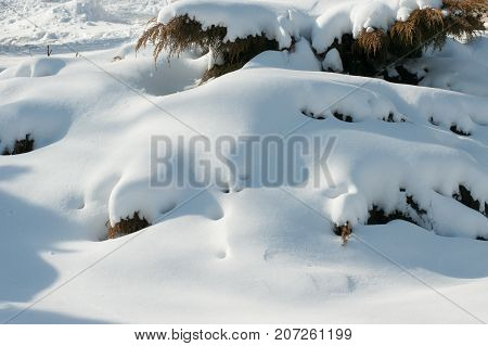snowdrifts on bushes in a light winter day