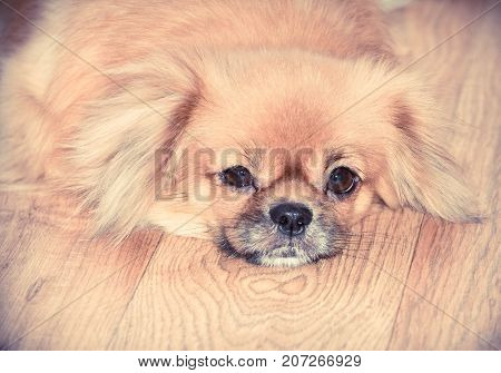 Portrait of a Tibetan spaniel. The dog lies on the parquet floor. Photo toned