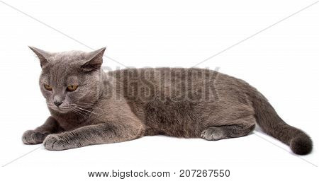 Gray cat isolated on a white background