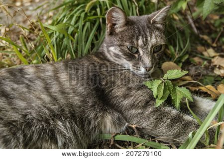 Grey cat with green eyes.Grey cat on green grass.Grey cat. Gray cat portrait. Gray cat background. Green-eyed cat.