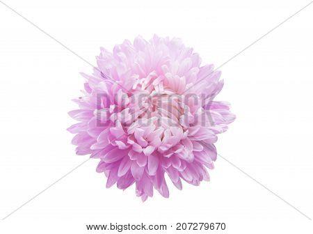 aster summer Flower isolated on white background