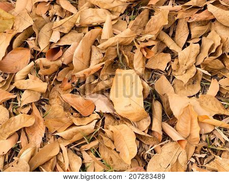 Texture of brown autumn dry leaves falling on floor for background.