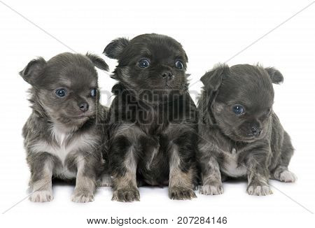 puppies longhair chihuahua in front of white background