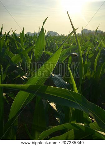 Maize on field in the morning sunlight in closeup
