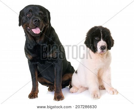 puppy landseer and rottweiler in front of white background