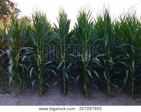 Maize on field before harvest in summer