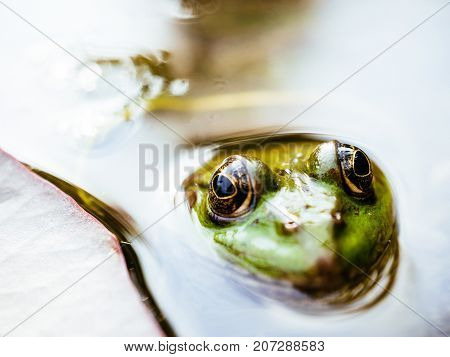 Frog with detailed close-up of the blinking eye in rainforest - animal protection and environmental conservation