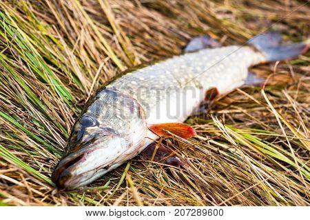 European pike on the autumn grass. Selective focus