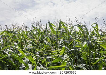Switzerland August 2017 cornfield the wind in the corn field the movement of corn
