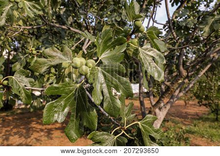Growing fig fruits on branches of a fig tree. Horizontal.