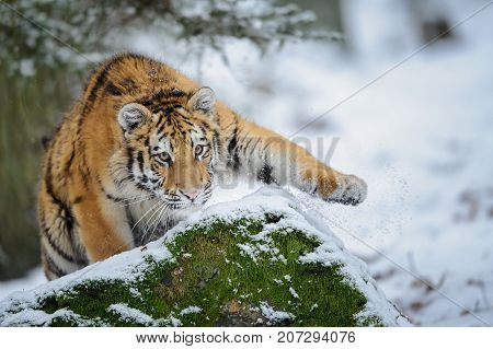 Tiger cub throwing snow away by his paw