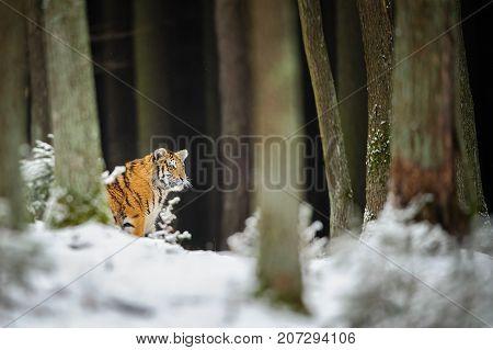 Amur tiger in dark winter forest with snow