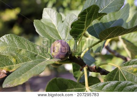 Growing fig fruit on branch of a fig tree. Horizontal. Close-up.