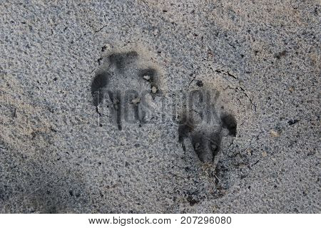 Dog footprint on the sand after the rain. Canine Footsteps On The Wet Beach Sand On A Winter / Summer / Autumn / Spring Day.
