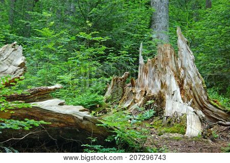 Ousted large tree lies next to the old stump in a green forest