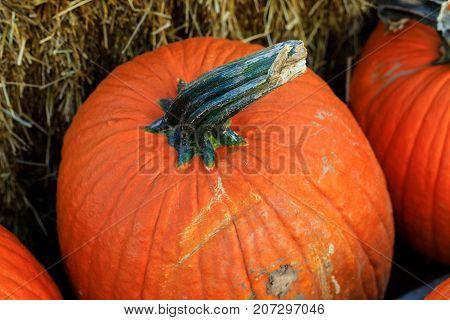orange pumpkin squash with stalk by hay