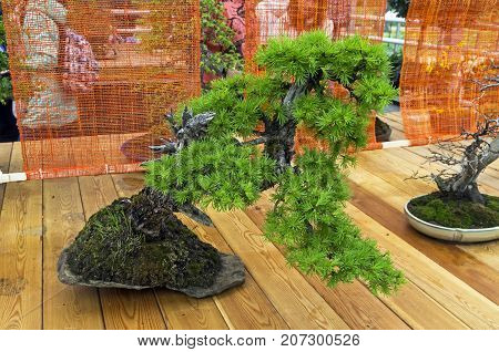 European Larch - Bonsai In The Style Of