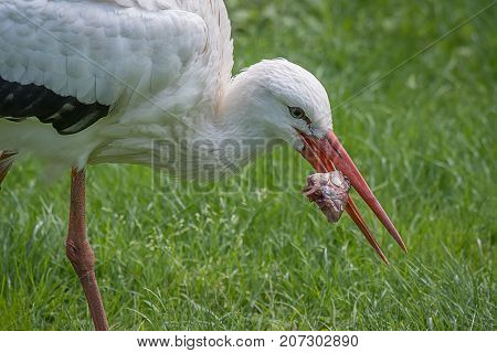A close up image of a white stork feeding on a fish. A head is still in its beak