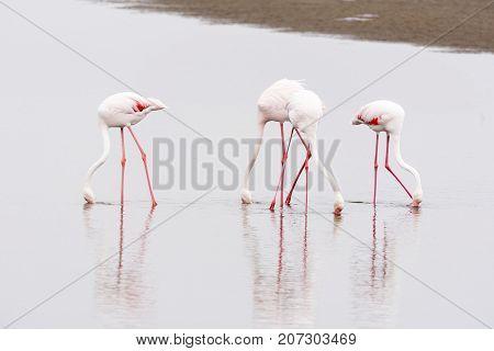 Greater Flamingos Phoenicopterus ruber roseus feeding in the lagoon at Walvis Bay in the Namib Desert on the Atlantic Coast of Namibia