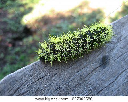 Gusano verde venenoso en naturaleza precioso no tocar