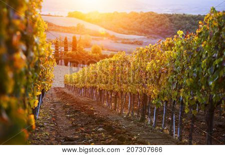 Vineyard in Italy in the sunset.  landscape sunset; vineyards; hills; fields and pasture