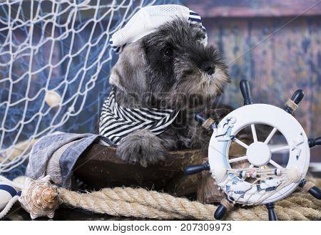 middel's schnauzer puppy captain