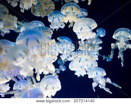 White-spotted jellyfish (Phyllorhiza punctata), also known as the Australian spotted jellyfish.