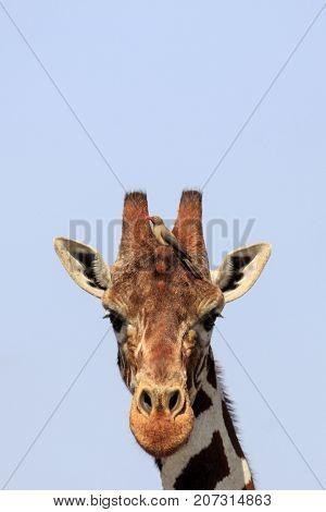 Giraffe portrait. Oxpecker bird perched on head
