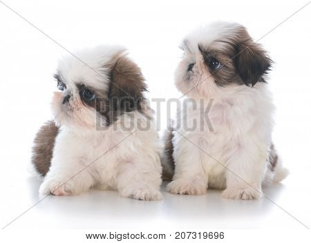 two adorable shih tzu puppy litter mates on white background