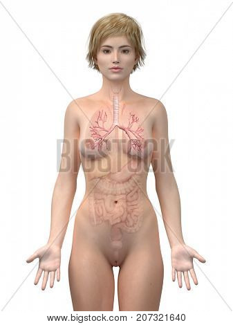 3d rendered medically accurate illustration of the female bronchi