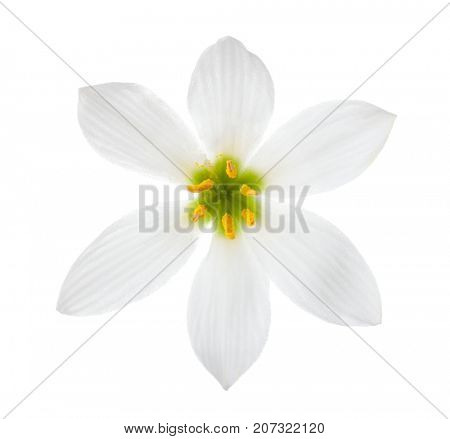 Close-up of white lily (autumn zephyrlily)  isolated on a white background. Zephyranthes candida