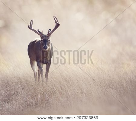Male Deer in a grassland