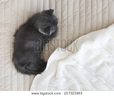 Grey purebred british kitten sleeps on blanket. Top view
