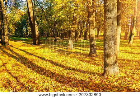Fall landscape of sunny fall park in nice weather. Spreading fall trees with fallen fall leaves on the ground. Fall nature view of sunny fall park