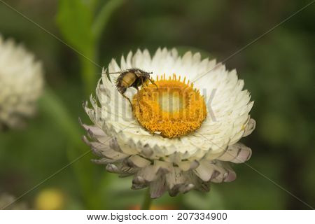 Bumblebee on white flower of white daisy similar to daisy on green background close-up