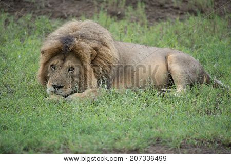 Lion(Panthera leo)Africa's largest feline beast Lion king africa