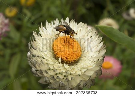 Bumblebee on white flower of white daisy similar to daisy on green background