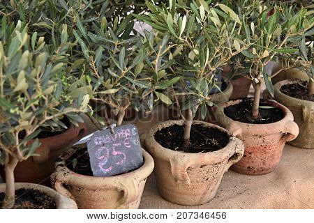 Small Olive Trees At A Market In The Village Of Sault In The Haute-provence