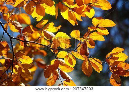 Autumn yellow leaves of poplar against blue sky. Defocused picture
