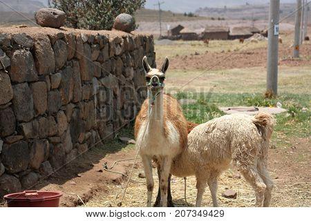 Lama breast feeding looking in thw camera